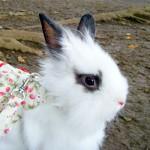 choco rabbit